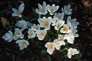 White crocus by Mararda