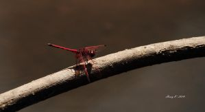 The-red-dragonfly by fotoponono