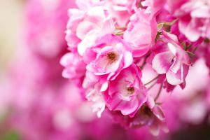 :Pink bloom: by giovannniii