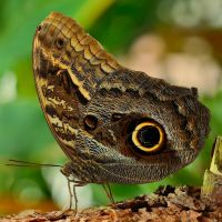 Caligo memmon 4 by Witoldhippie