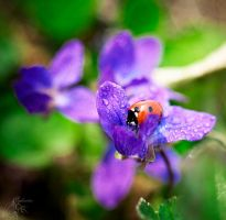 Coccinellidae by Eglantier-re