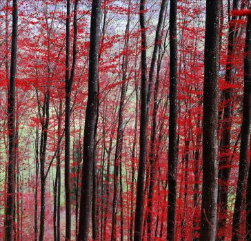Bloodred Forest II by Aenea-Jones
