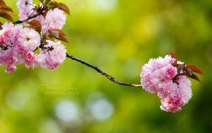 Pink Romance by RHCheng