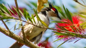 Red whiskered Bulbul by YadavThyagaraj