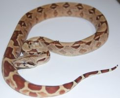 Brick the hypo het albino boa by Phoenix-Cry