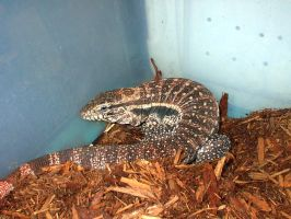 Monitor Lizard by the-alyshleigh-stock