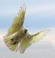 Sulphur Crested Cockatoo 50 by chezem