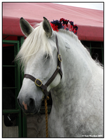 Percheron by kittywinter