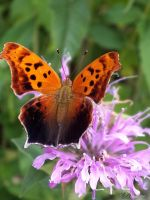 The butterfly and the bee balm by Melusine8