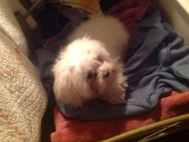 I got a new pet Maltese dog, Cody from my aunt by Magic-Kristina-KW