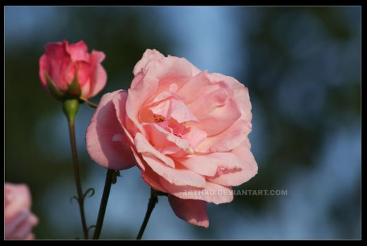 rosy rose 2 - spring 09 by ZethXD
