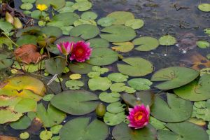 Water Lily 16 by GreyVolk