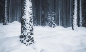Snow Covered Trees by JoniNiemela