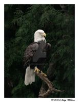Bald Eagle 4 by Tazzy-