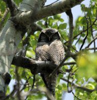 Northern Hawk Owl 2 by sgt-slaughter