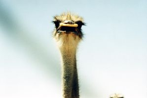 ostrich in shock by mimiGames