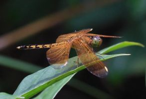 Orange dragonfly from Bali by AngiWallace