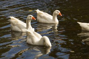Geese by Lubov2001