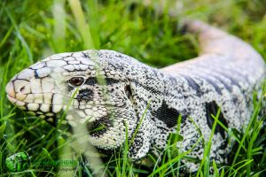 Argentine Black and White Tegu by DigonDesigns