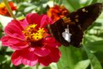 Painted Lady and Zinnia by 4TheLoveOfNature