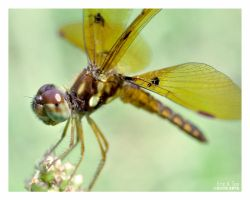 Tiny Golden Dragonfly II by Eccoton