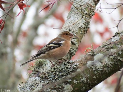 common chaffinch by kiwipics