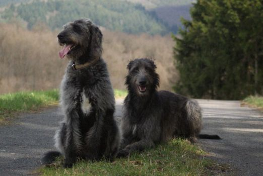 Deerhound and Labradoodle by gaothaire