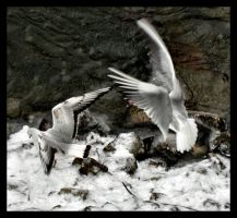 Gulls by NorN