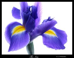 The Iris by fotolicious