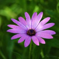 purple.dreams by vicente-oliveira