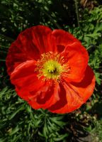Macro of an Iceland Poppy by EUtouring
