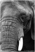 African Elephant portrait by MorganeS-Photographe