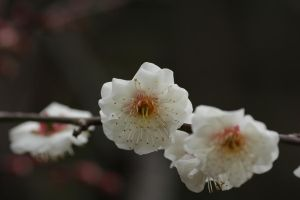 Plum Blossoms by oya-g