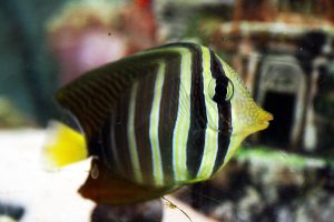 Sailfin Tang by jeskatupropiamama