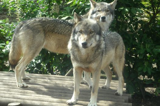 Wolf Brothers by Emmysarus
