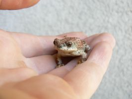 Red spotted Toad by Son-of-Italy