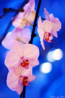 White and pink orchid 23_366 by eugene-dune