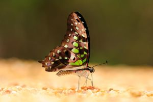 Tailed Jay by inckurei
