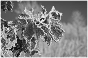 Beautiful leaves in rime by swiftach