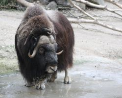Muskox 2 by Globaludodesign