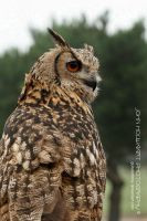 Eagle Owl by guitarjohnny