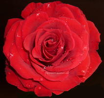 Red Rose by izka197