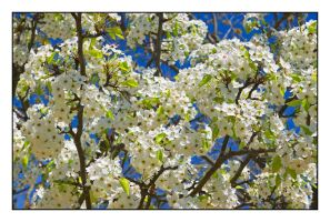 Spring tree flowers.img459, with story by harrietsfriend