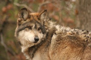 Mexican Wolf by I-Heart-Photos