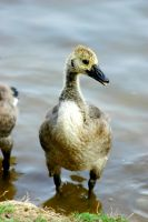 RP Geese VIII by LDFranklin
