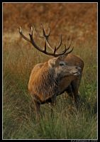 Muddy Stag by andy-j-s