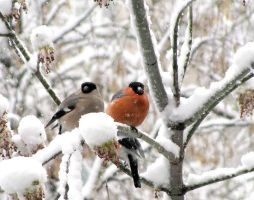 bullfinches by flankerus