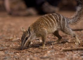 numbat by shutter-strike