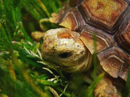 sulcata baby by bambooflower