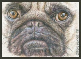 Pug - ACEO by Carol-Moore